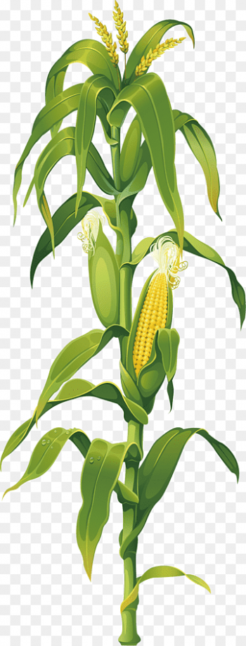 Download Plant Corn PNG