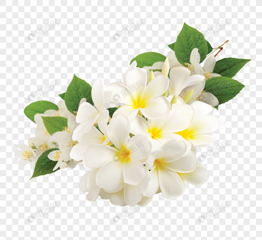Download free Plumeria Rubra